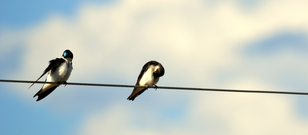 Bird on a wire. Swallows photographed in the Yukonn.