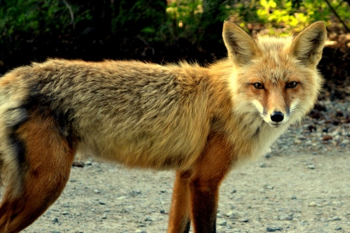 Sly fox. Whitehorse, Yukon.