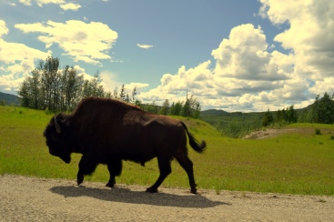Wood Bison. Alaska Highway, Yukon