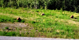 Mama grizzly and cubs. Alaska Highway, Yukon