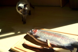Rainbow trout. Yukon