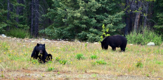 Black bears. Alaska Highway, Yukon