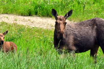 Mama moose. Alaska Highway, northern B.C.