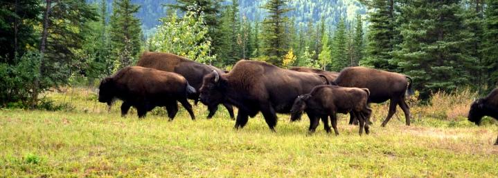 Bison. Alaska Highway, Yukon
