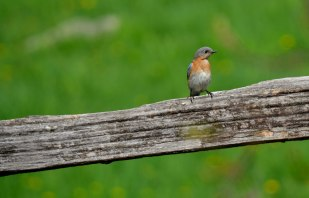 Female bluebird.