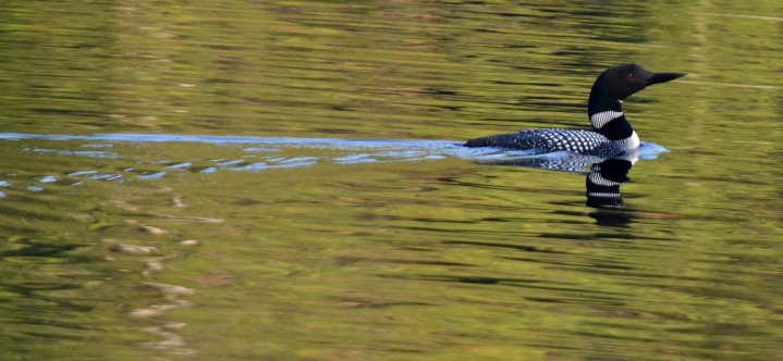 Common Loon on Cox Lake
