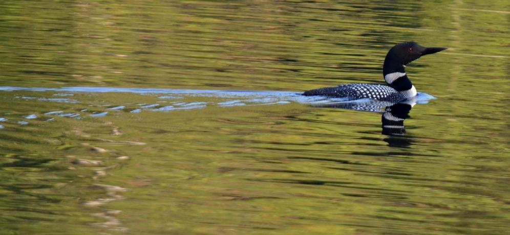 Common Loon on Cox Lake