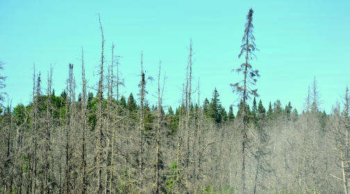 Love black spruce and bogs!