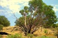 Waxy tree.