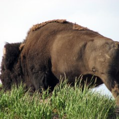 Yellowstone (70)