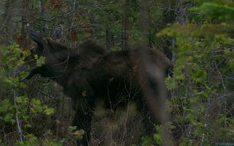 Another moose!