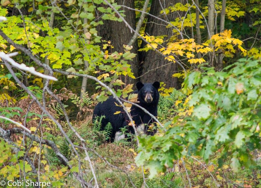 Black bear on Freeland Lake