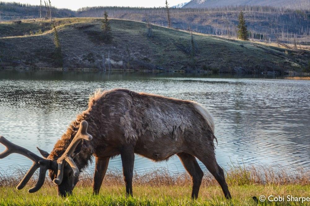 ElkJasper National Park