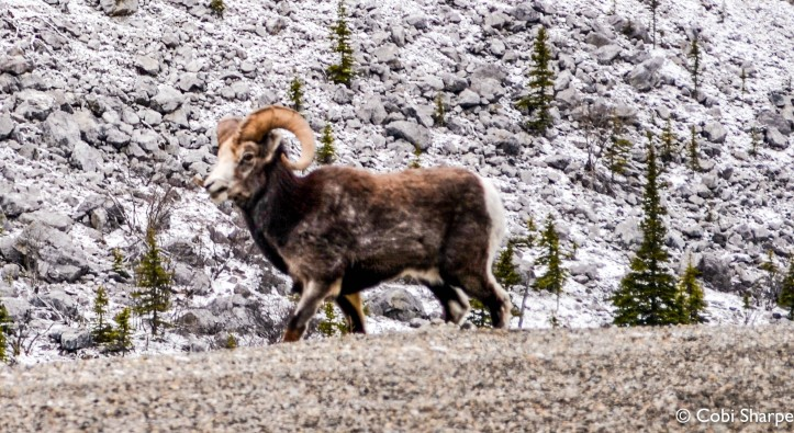 Big Horn Sheep,Alaska Highway, B.C