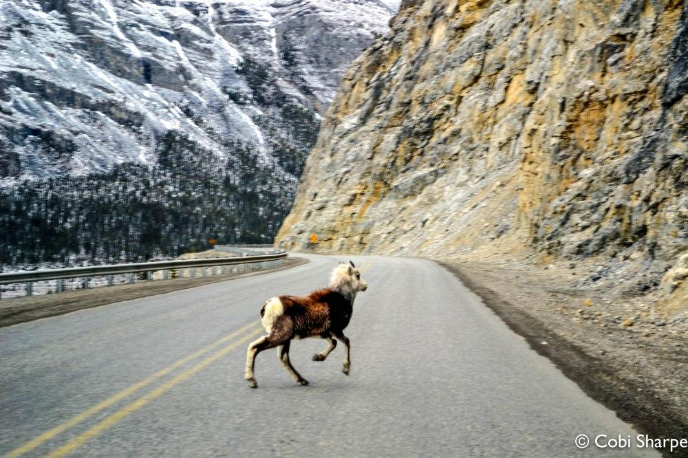 Big Horn SheepAlaska Highway, B.C