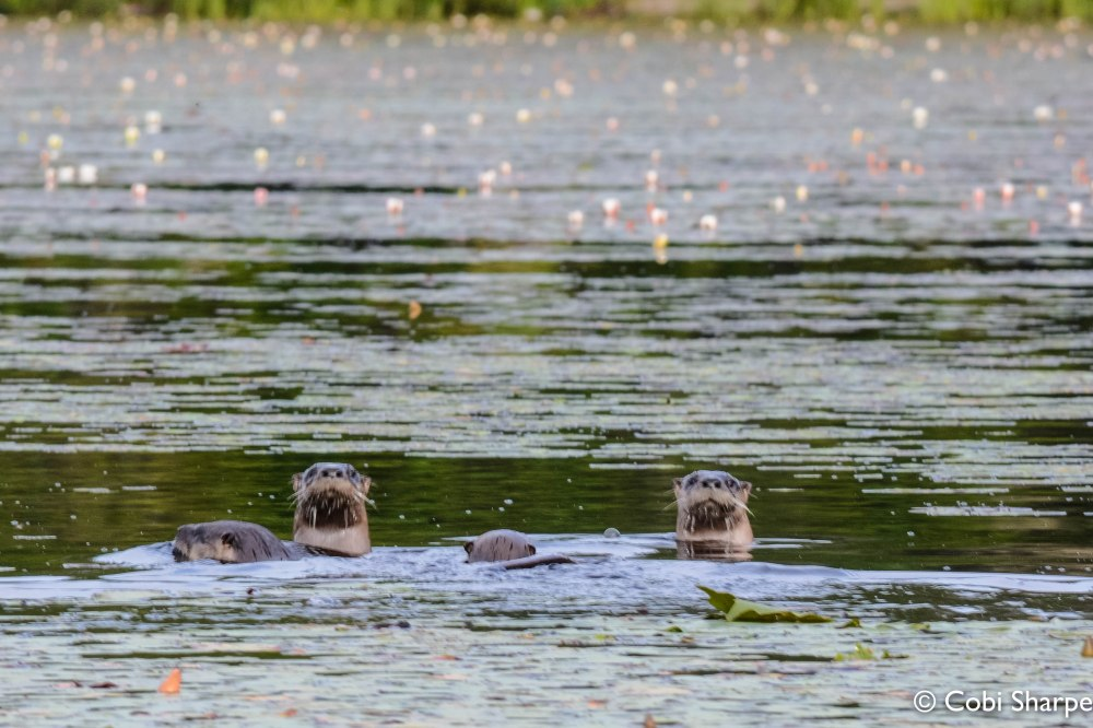 River Otters!