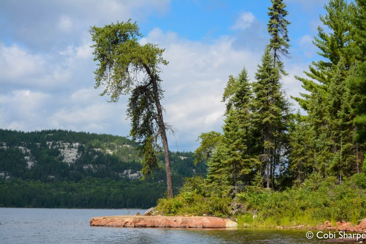 Jack pine on Chiniguchi Lake with The Elephant in the background