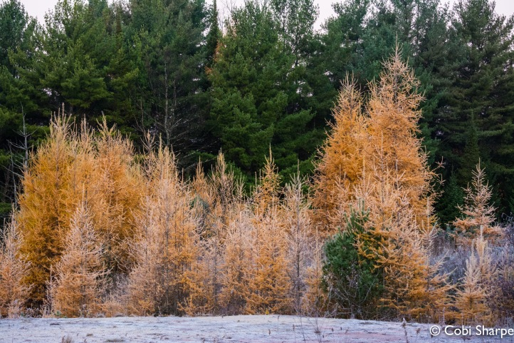 Sigurd called tamaracks 'Smoky Gold'