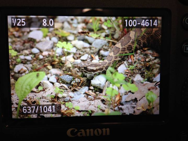 Massasauga Rattlesnake. Shooting on location at Georgian Bay Islands National Park